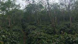 organic sumatra coffee